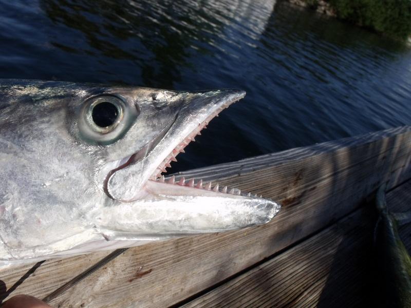 King Mackerel Teeth Th...