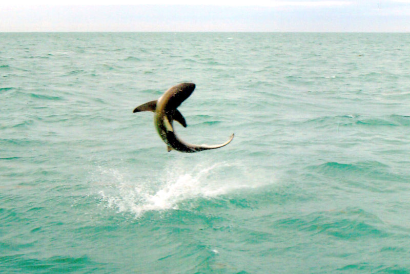 Flying fish shark fish the dream florida fishing for Dream about fish out of water