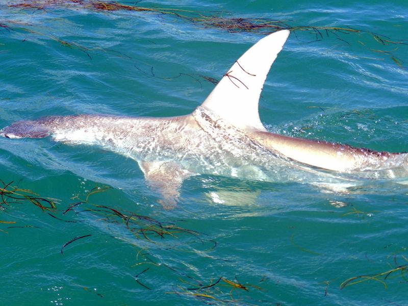 Hammerhead Shark Eating Fish http   www fishthedream co uk  p 1191Hammerhead Shark Eating Fish