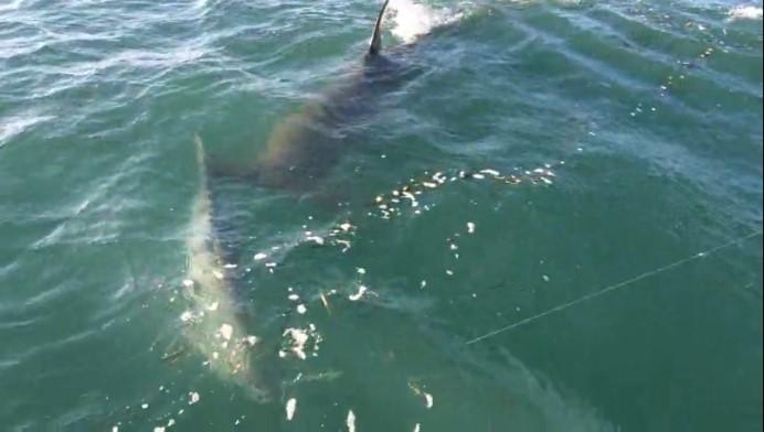 tarpon shark-00-00-10-270