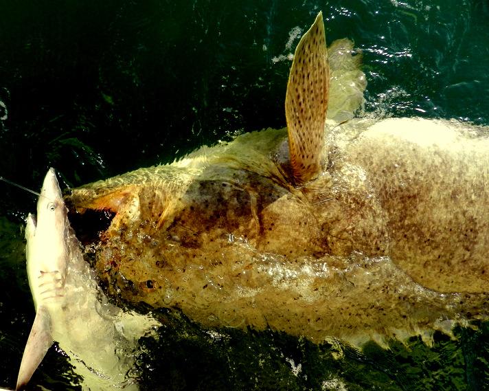 grouper 5